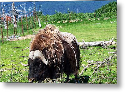 Musk Oxen Metal Print by Aimee L Maher Photography and Art Visit ALMGallerydotcom