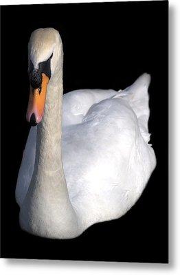 Mute Swan At Night Metal Print by Lynne Dymond