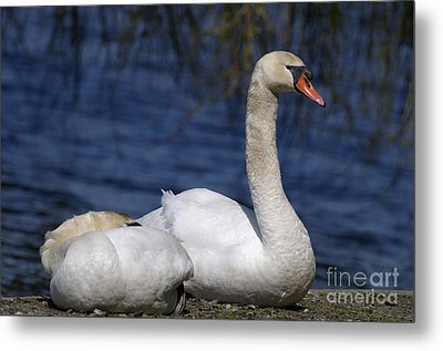 Mute Swans By Lagoon Metal Print by Sharon Talson