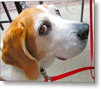My Beagle Friend Metal Print