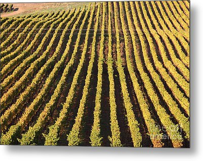 Napa Valley Vineyard . 7d9061 Metal Print by Wingsdomain Art and Photography