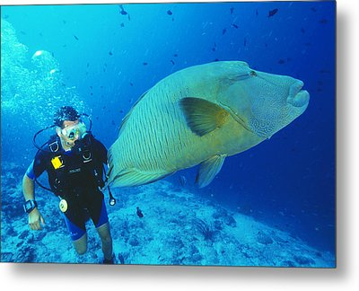 Napoleon Wrasse And Diver Metal Print by Matthew Oldfield