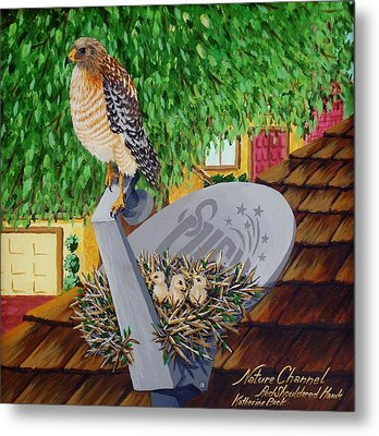 Nature Channel- Red Shouldered Hawk Metal Print by Katherine Young-Beck