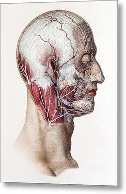 Neck And Facial Nerves Metal Print by Mehau Kulyk