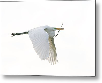 Nest Building Metal Print by Denny Bingaman