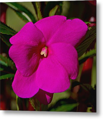 New Guinea Impatien Metal Print