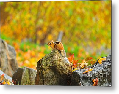 New Hampshire Chipmunk Metal Print by Catherine Reusch Daley