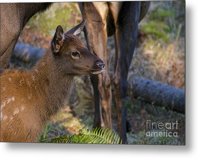 Newborn Elk Metal Print by Sean Griffin