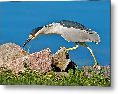 Night Heron At Ketring Lake Metal Print