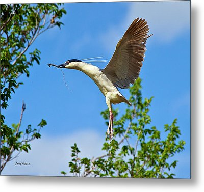 Night Heron Building Nest Metal Print