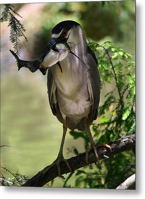 Night Heron With His Catch Metal Print by Paulette Thomas