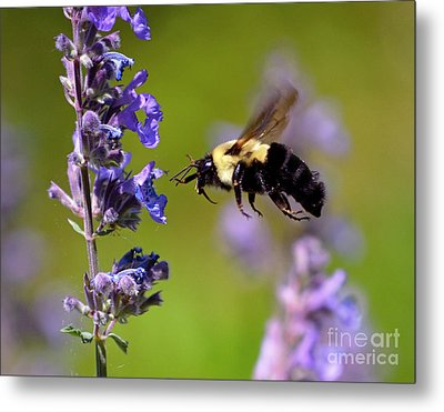 Non Stop Flight To Pollination Metal Print by Sue Stefanowicz
