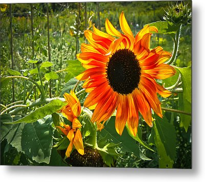 Noontime Sunflowers Metal Print by Jiayin Ma