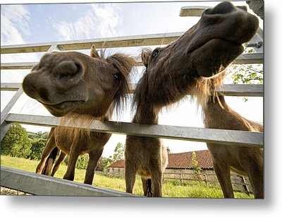 North Yorkshire, England Horses Looking Metal Print by John Short