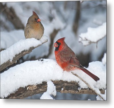 Northern Cardinal Pair 4284 2 Metal Print by Michael Peychich
