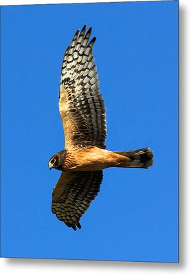 Northern Harrier Hawk Metal Print