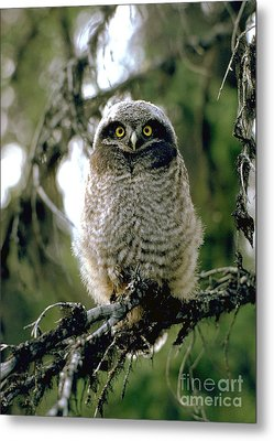 Northern Hawk Owl Fledgeling Metal Print by Doug Herr