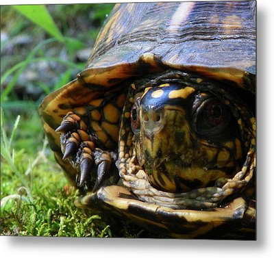 Nosey Turtle Metal Print by Chad and Stacey Hall