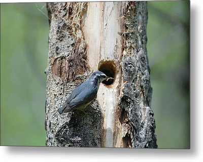 Nuthatch Feeding Young Metal Print