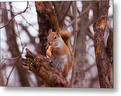 Nutty Squirrel Metal Print