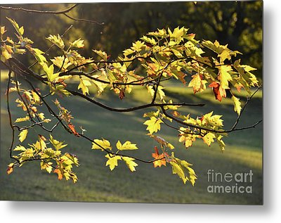 Oak Leaves In The Sunlight Metal Print