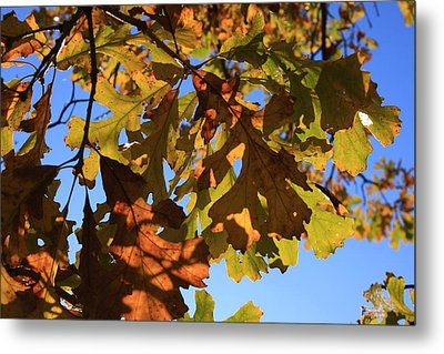 Oak Leaves With Backlighting Metal Print by Lyle Hatch