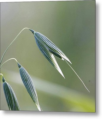 #oat #spica #decorative #cereal #plant Metal Print by Andrei Vukolov