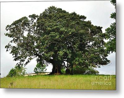 Old Fig Tree - Ficus Carica Metal Print by Kaye Menner