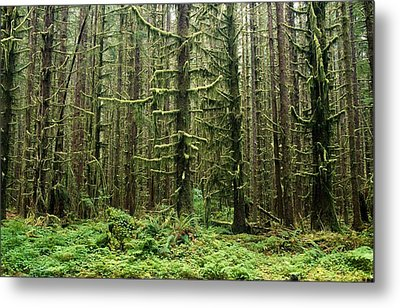 Old Growth Forest In The Hoh Rain Metal Print by Natural Selection Craig Tuttle