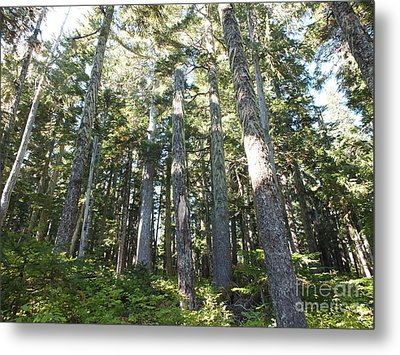 Old Growth Forest Metal Print by Shannon Ireland