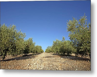 Olive Grove Metal Print by Carlos Dominguez