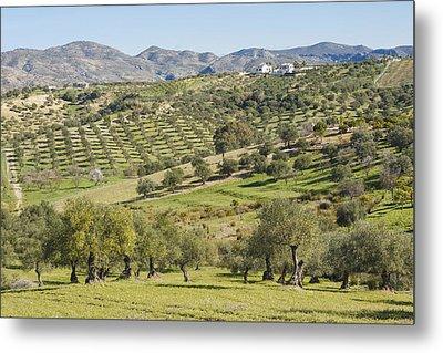 Olive Groves, Southern Spain. Metal Print by Ken Welsh