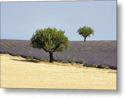 Olives Tree In Provence Metal Print by Bernard Jaubert
