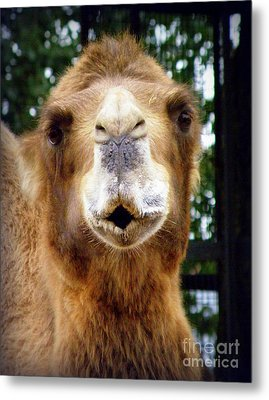 Omar The Camel Metal Print by Lainie Wrightson