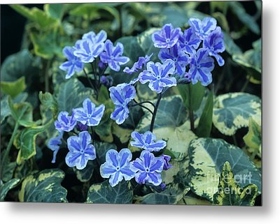 Omphalodes 'starry Eyes' Flowers Metal Print by Archie Young