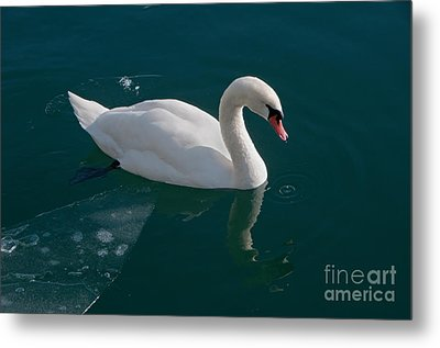 One Swan A-swimming Metal Print