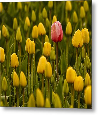 One Tulip Metal Print by Tony Locke