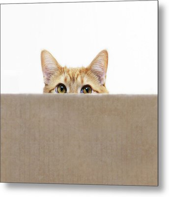 Orange Cat Peeping Out From Cardboard Box Metal Print by Kevin Steele