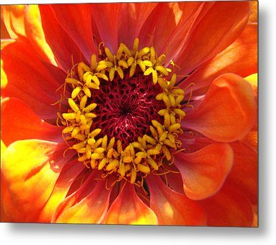 Metal Print featuring the photograph Orange Daisy by Ronda Broatch