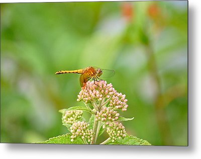 Orange Dragonfly Metal Print by Mary McAvoy