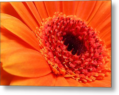 Orange Gerbera Close Up Metal Print