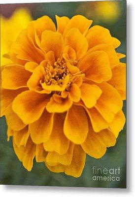 Orange Marigold Metal Print
