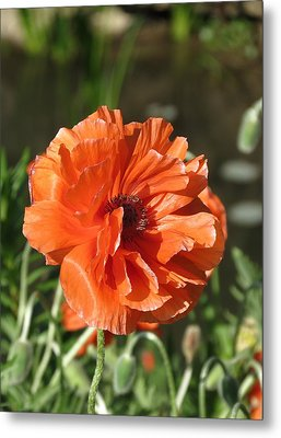 Metal Print featuring the photograph Orange Poppy by Rebecca Overton