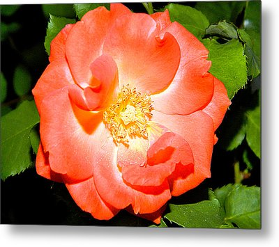 Metal Print featuring the photograph Orange Rose  by Ester  Rogers