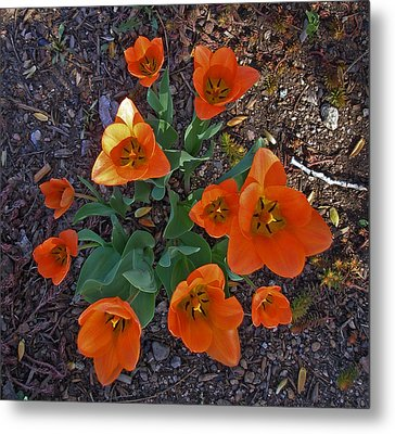 Metal Print featuring the photograph Orange Tulips by David Pantuso