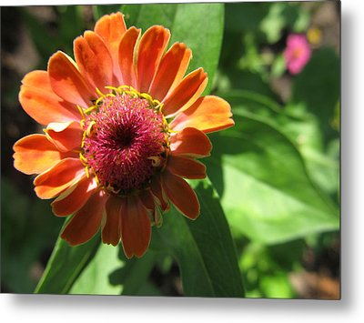 Metal Print featuring the photograph Orange Zinia by Tina M Wenger