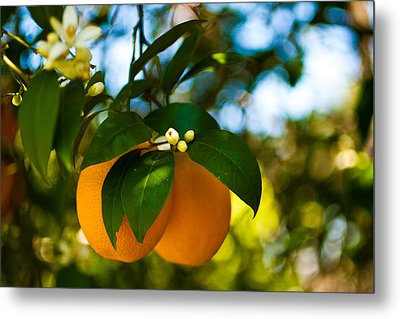Oranges And Blossoms Metal Print by Dorothy Cunningham