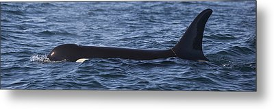 Orca Orcinus Orca Surfacing Showing Metal Print by Matthias Breiter