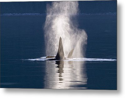 Orca Pair Spouting Southeast Alaska Metal Print by Flip Nicklin