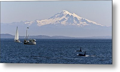 Orca's And Mt Baker Metal Print by Tony Locke